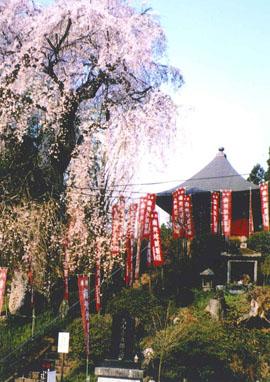 龍光寺 しだれ桜毎年4月中頃満開