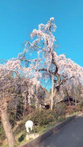 建福寺の桜